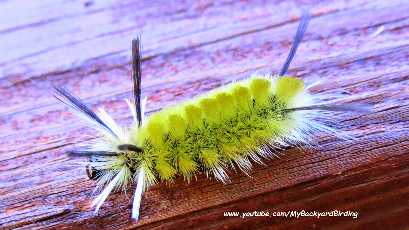 Banded Tussock Moth Caterpillar - Yellow