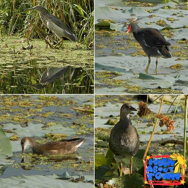Birds around Dal Lake, Srinagar, Kashmir