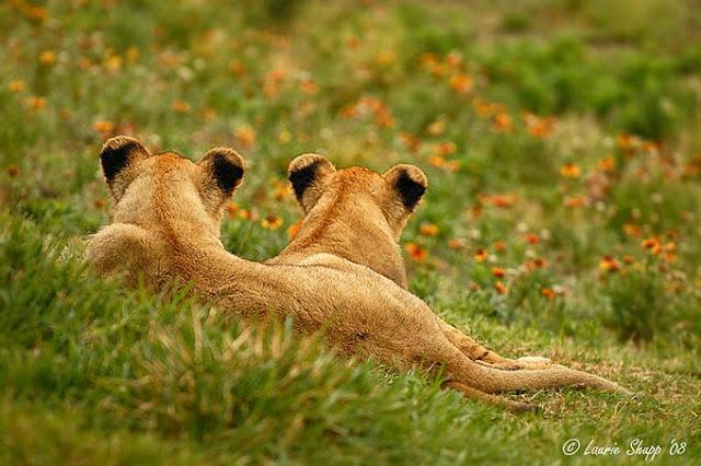 фото львы со спины