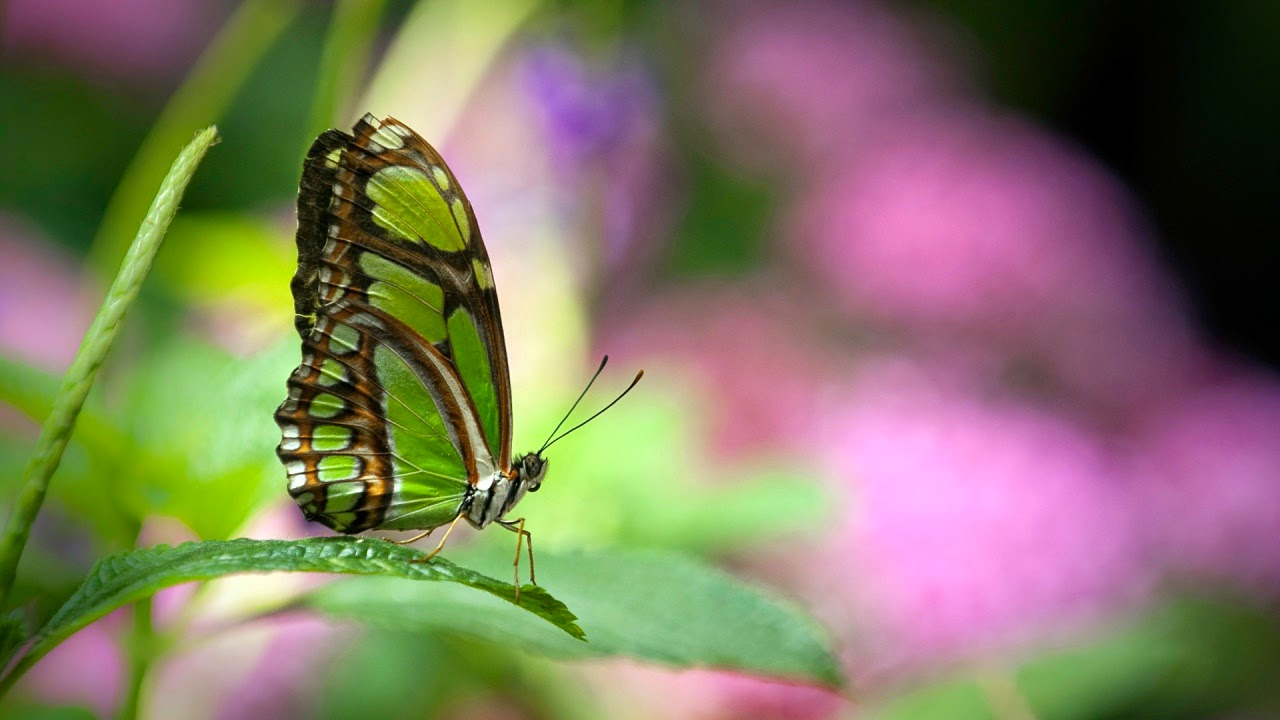 latest wallpapers of butterflies - photo #9