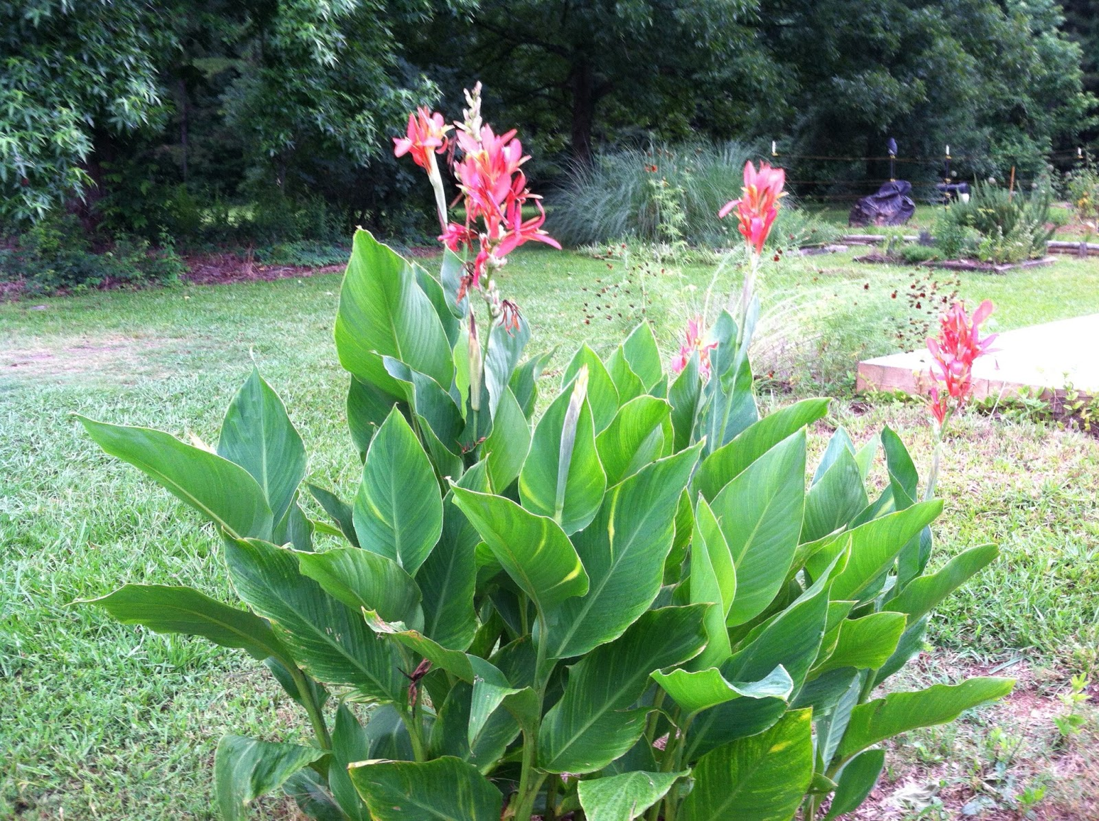 Two Sisters Gardening Canna Lily An Americas Native