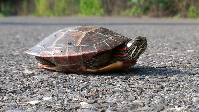 A painted turtle on the asphalt with his legs tucked in his shell
