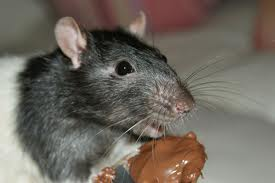 gourmand rat