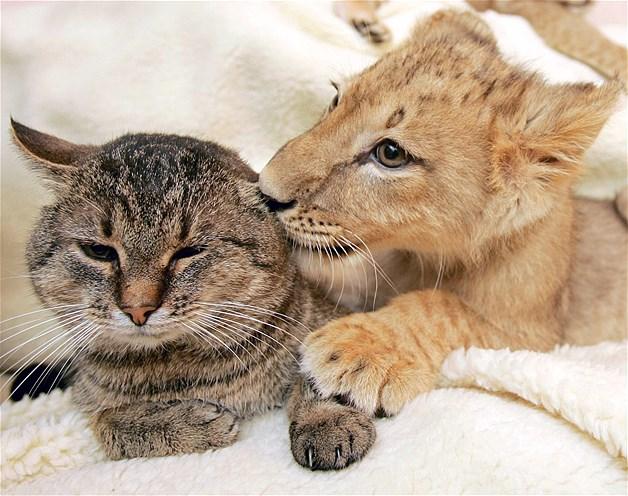 Este gato doméstico deja salir su lado más salvaje con su amigo el cachorro de león.