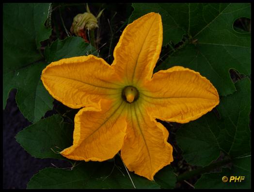 male pumpkin pu...