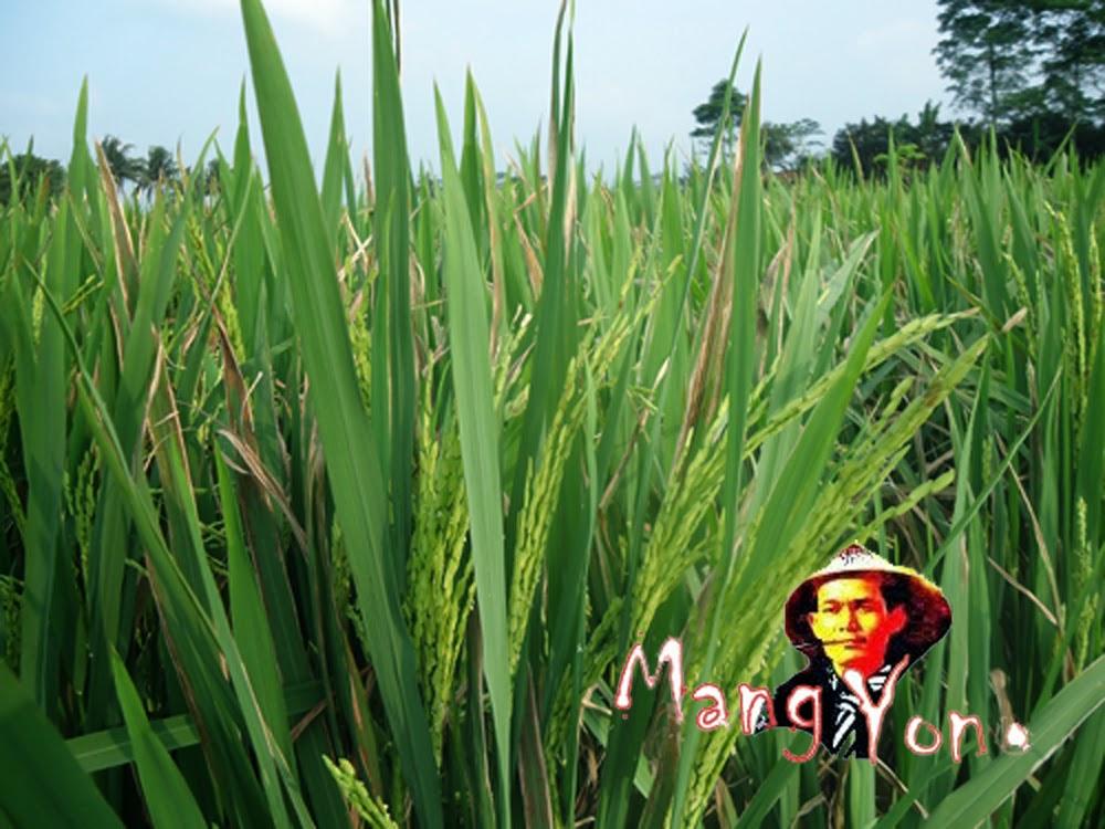 Mulai mencoba menanam padi beras merah