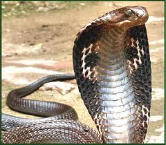 ular tedung