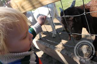 Petting zoo at Tougas Farm
