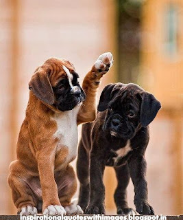 images of boxer dogs
