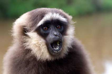 "illiterary writing style - gibbon says, ""i am not a monkey"""