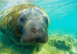 Peixe-boi: mamífero aquático ameaçado de extinção