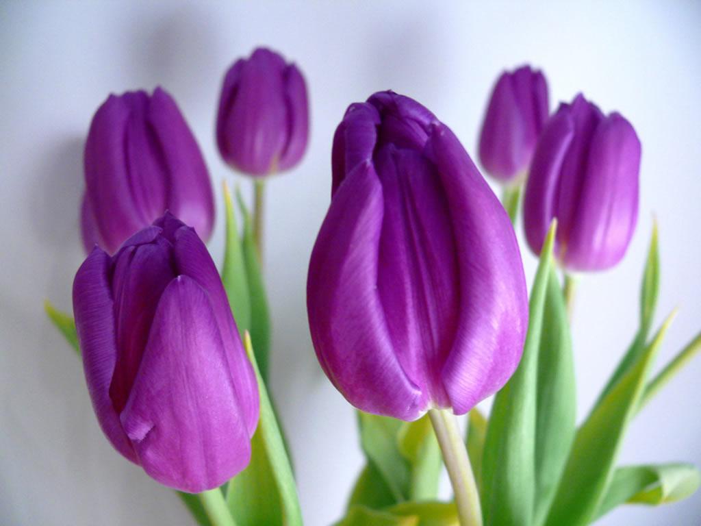 tulip flower background wallpaper