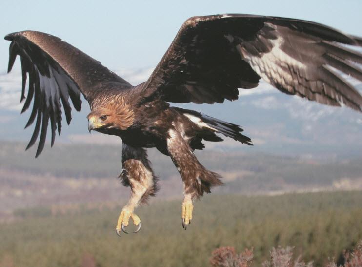 Gold eagle animal - photo#5