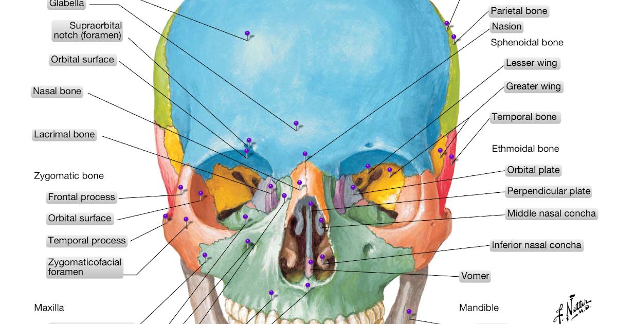 Anatomía Humana: Huesos y suturas del craneo