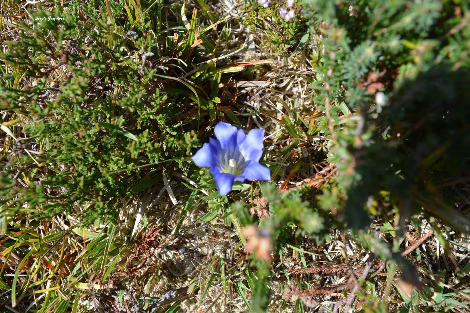 Gentiana é um género botânico pertencente à família Gentianaceae.