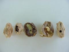 A larva do inseto que danifica a semente do imbu