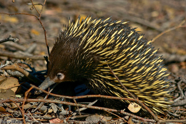 Echidna | The Biggest Animals Kingdom
