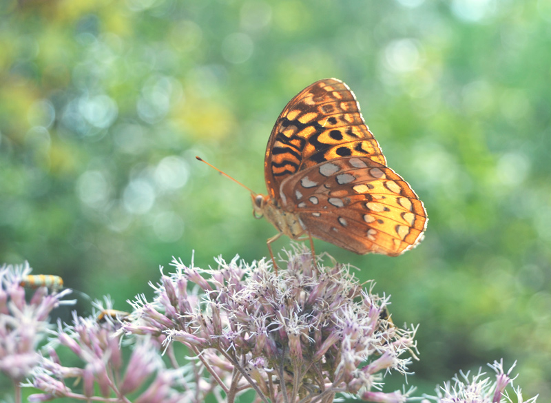 The Flying Clubhouse: Summer's End - Great Spangled Fritillary
