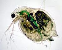 Utilisation des daphnies pour lutter contre l'eau verte