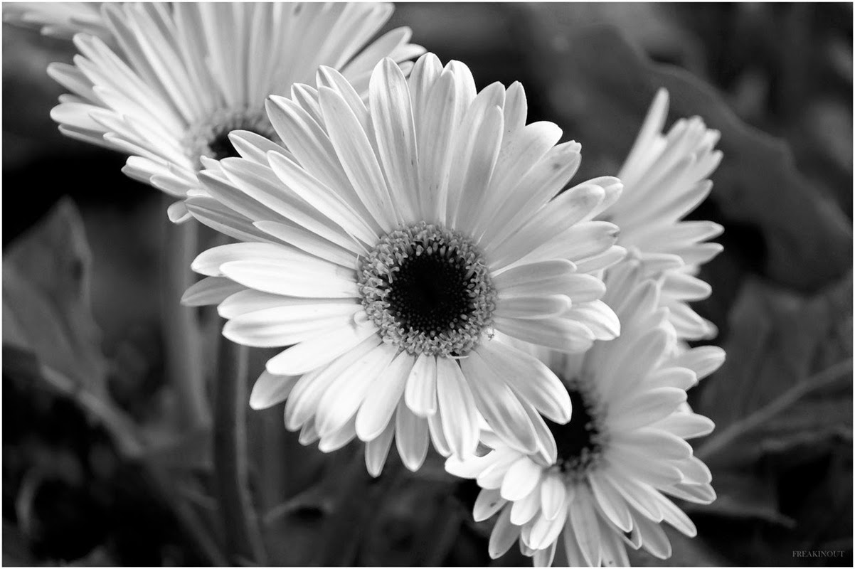 Black and white hawaiian flowers many flowers black and white flowers black and white hawaiian flowers mightylinksfo