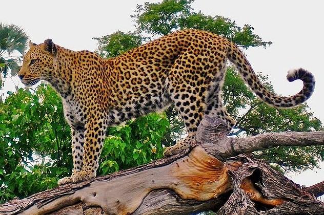 Macan Tutul Terlihat di Selabintana