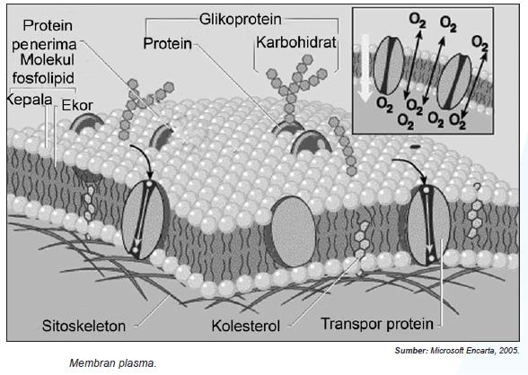 Membran sel dan fungsi ccuart Choice Image