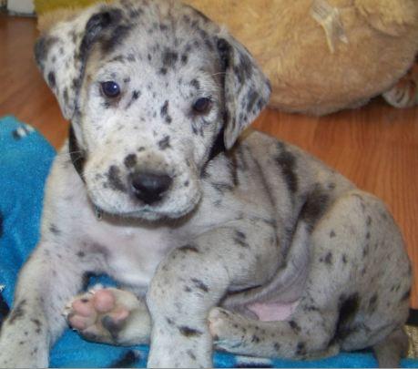 goliath buying a great dane puppy