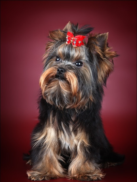 Yorkshire Terrier Dog History