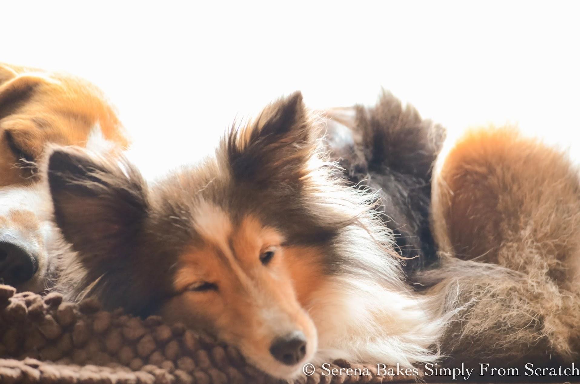 Bell-Buddy-Dogs-Beagles-Sheltie-Sleeping.jpg
