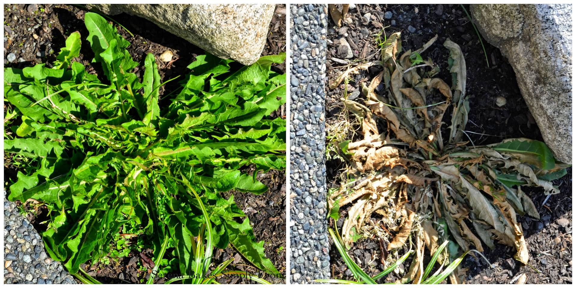 Homemade-All-Natural-Inexpensive-Weed-Killer-Weeds.jpg