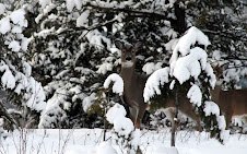 Pretty Deer In The Snow