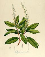 Desenhos de Plantas de Johann Baptist Emanuel Pohl