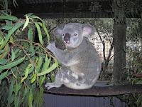 Koala, Cairns, Australia, vuelta al mundo, round the world, La vuelta al mundo de Asun y Ricardo
