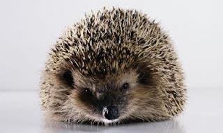 V Cute Hedgehog