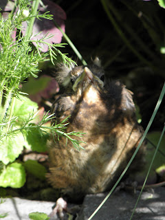 Baby Blackbird in Camomile