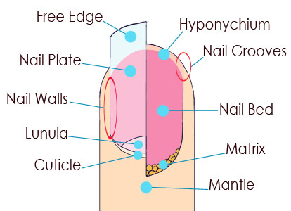 Your Nails Are Made Up Of Layers Keratin A Protein That S Also Found In Hair And Skin Each Nail Is Comprised Several Parts