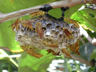 Paper wasps of the genus Polistes build nests out of chewed wood pulp.