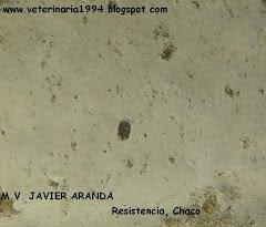 HUEVO DE ANCYLOSTOMA