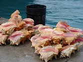 Colorful Conch Shells