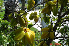"Carambola ""Starfruit"" 249"