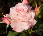 mutiara bunga mawar kehidupan