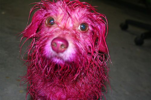 Funny Colorful Dogs | Funniest Colorful Dogs Seen On www.coolpicturegallery.us