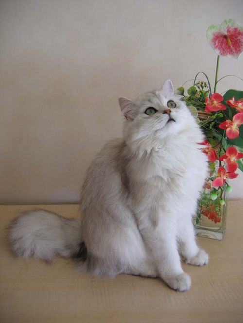 British Longhair Cat. This cat has a medium-to-long, fluffy coat and a short