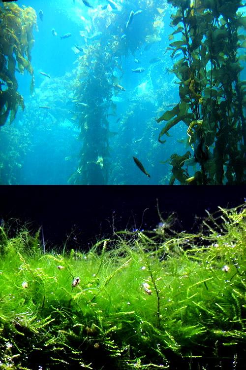 Por qué existen algas de distintos colores