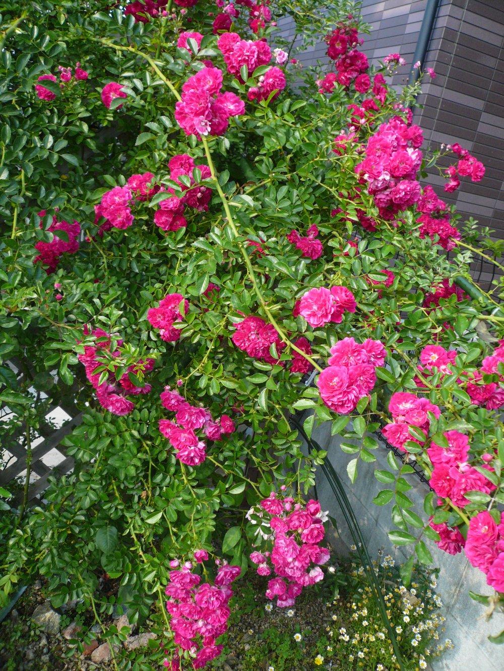 Minhas Rosasminhas floresmeu jardim Minha linda roseira Blue