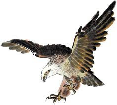 burung helang