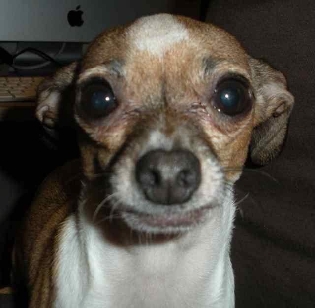 Chiwawa Greyhound Mix Greyhound/chihuahua mix