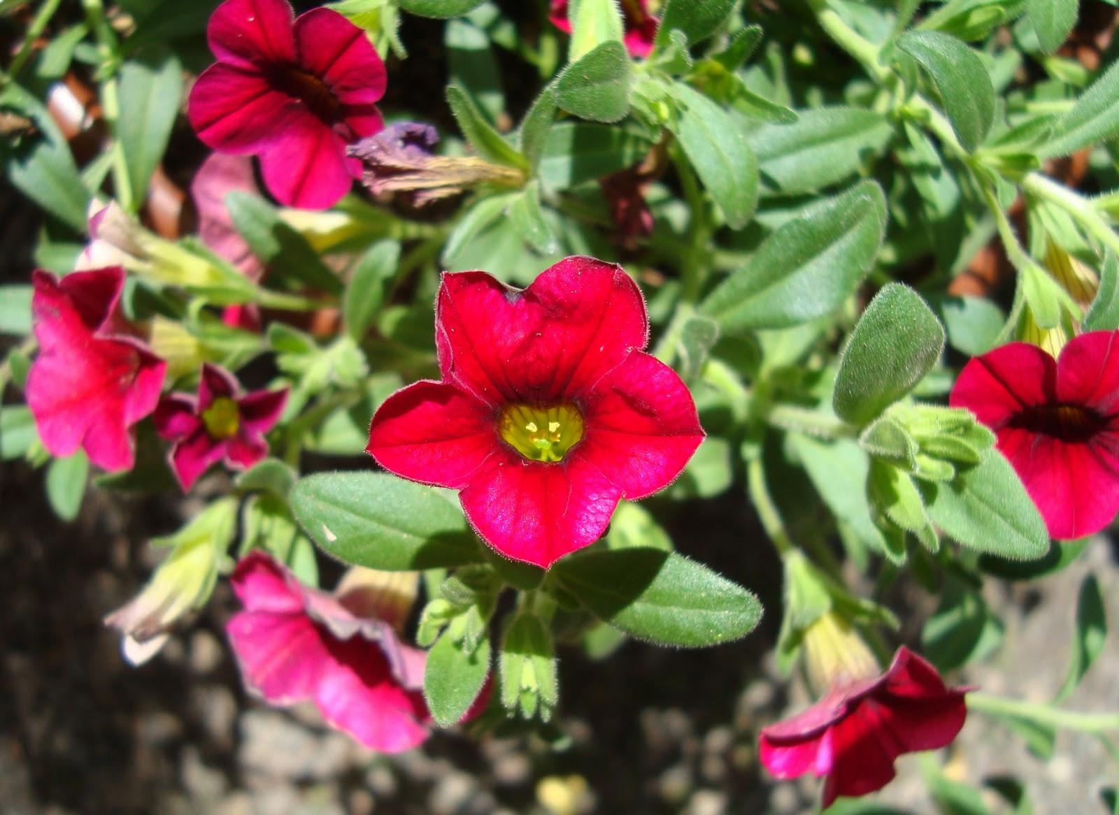 Javi s garden petunias - Calibrachoa perenne ...