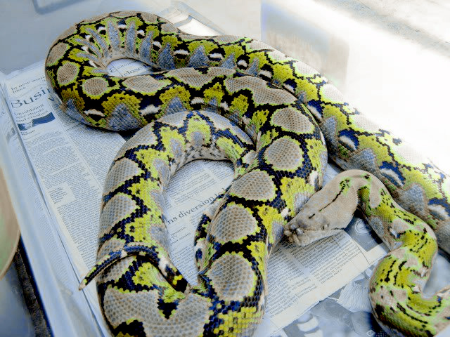 Reticulated Pythons: Platinum Reticulated Python