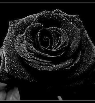 Цветы черные картинки